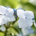 白の紫陽花