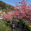 2012年3月6日 南伊豆町 「みなみ桜」 (4)