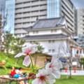 """2015年9月21日 """"季節外れの桜"""" 駿府城公園"""