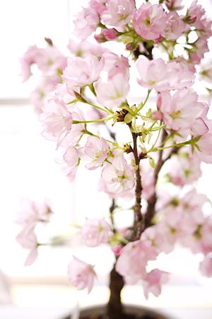 旭山桜のこの色が好き