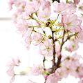 写真: 旭山桜のこの色が好き