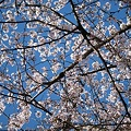 Photos: 満開の桜の空