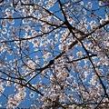 満開の桜の空