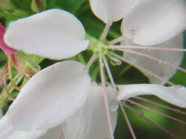 クリオメの花拡大1