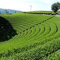 円形茶園全景