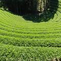 すり鉢茶園