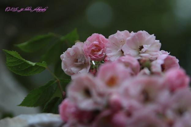 小雨に薔薇