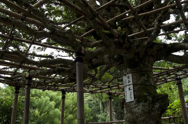 竹生島のモチノキ