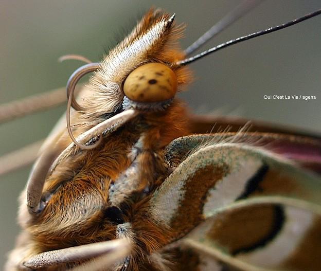Photos: 四本脚のチョウ ツマグロヒョウモン飼育(二本の口吻まき直し)01