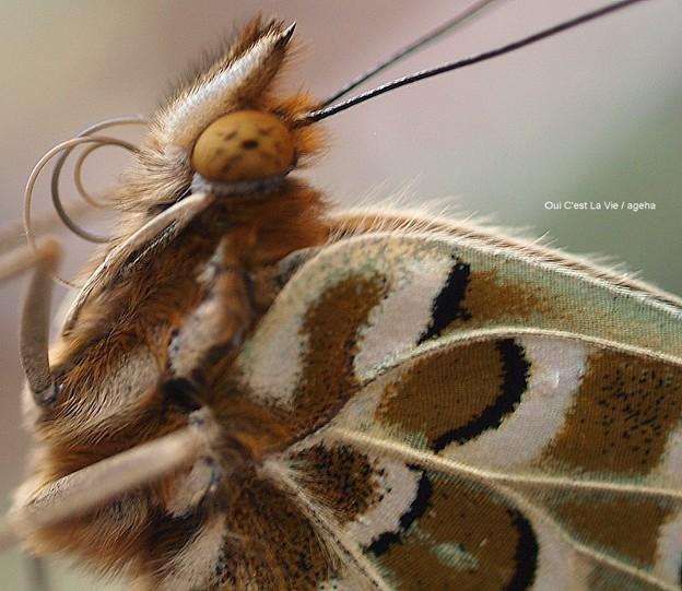 四本脚のチョウ ツマグロヒョウモン飼育(二本の口吻まき直し)03