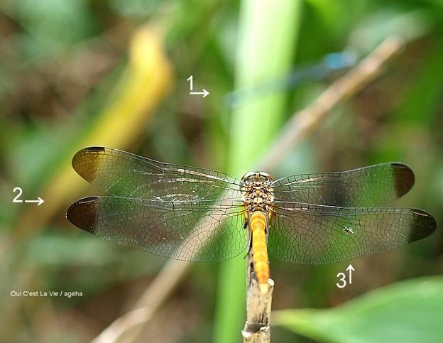 リスアカネだかコノシメトンボだか。翅に虫つき。