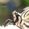 ナミアゲハ Papilio xuthus