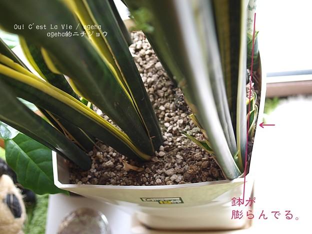 鉢はぱんぱんです。割れるかも。(サンセベリア開花 2015)
