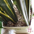 Photos: 鉢はぱんぱんです。割れるかも。(サンセベリア開花 2015)