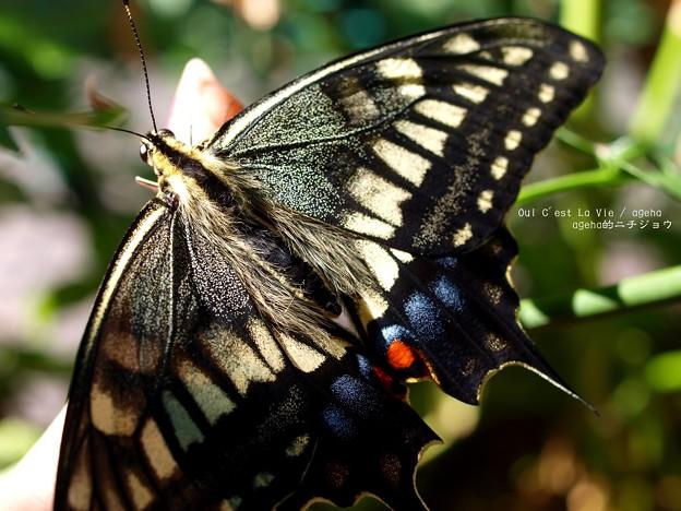 太陽光は全ての生物を美しく魅せる。(キアゲハ飼育)