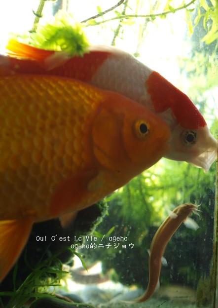 金魚あくびドジョウ登り。(金魚飼育)