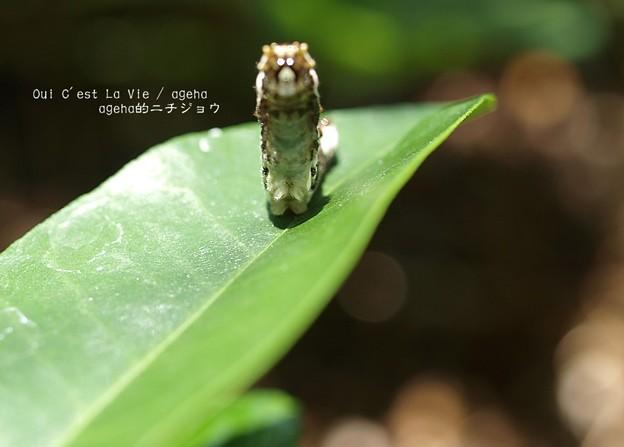 立ち上がる。(ナミアゲハ幼虫)