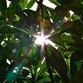 Photos: ビワの木とお日様