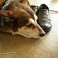 写真: 辺野古の座り込み事務所の犬、ポーチ