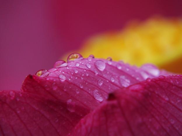雨の日の蓮3