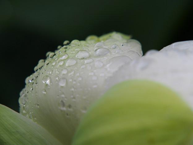 雨の日の蓮4