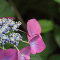Photos: 諏訪神社の紫陽花