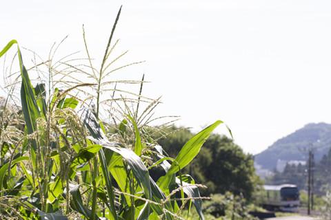 トウモロコシ畑とE257系