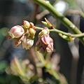 Photos: ブルーベリーの咲き始め