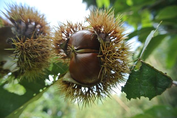 新しい苗木の栗の実