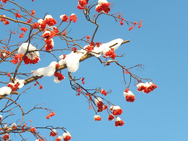 Photos: 旭川三景(ナナカマド)
