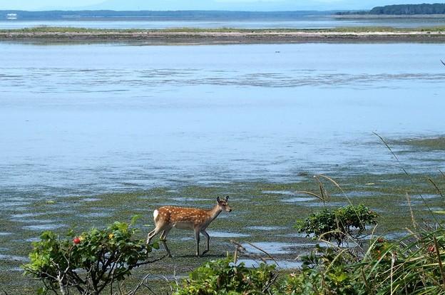 写真: トドワラの鹿さん