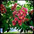 Red Horse Chestnut V 6-3-15
