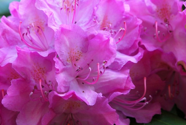 Rhododendron III 6-13-15