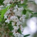 Black Locust I 6-17-15