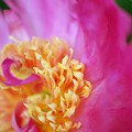 Photos: Hot Pink Peony 6-27-15