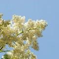 Japanese Tree Lilac I 6-27-15