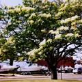 Japanese Tree Lilac III 6-27-15