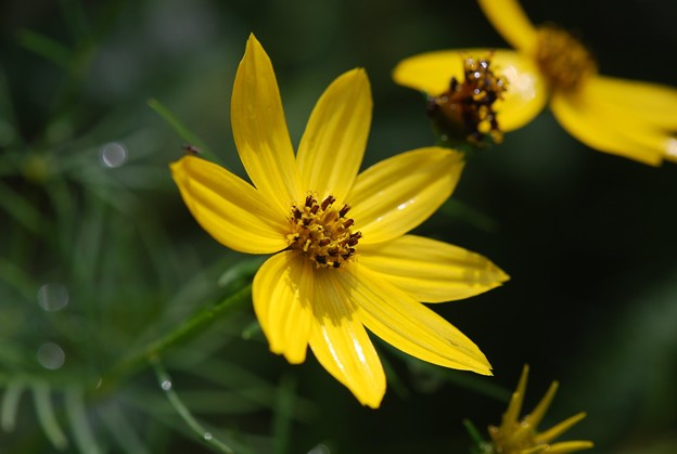 写真: Threadleaf Coreopsis 7-19-15