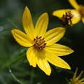 Photos: Threadleaf Coreopsis 7-19-15