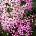 Japanese Spiraea I 7-19-15