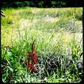 Cardinal Flower II 8-8-15