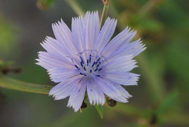 Photos: Chicory 8-8-15