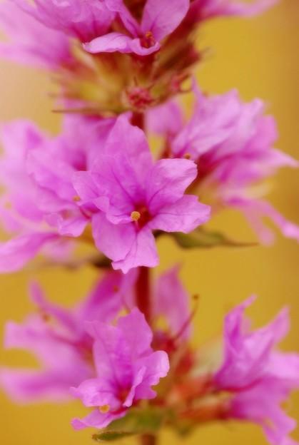 Photos: Purple Loosestrife I 8-8-15