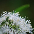 Tall Meadow Rue 7-1-11