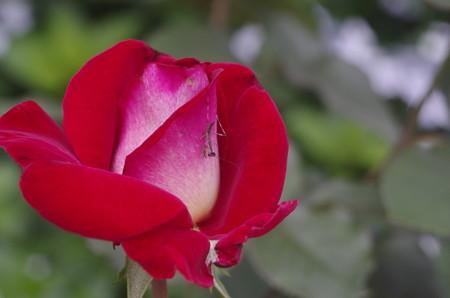 種松山公園の赤いバラと小さなカマキリ