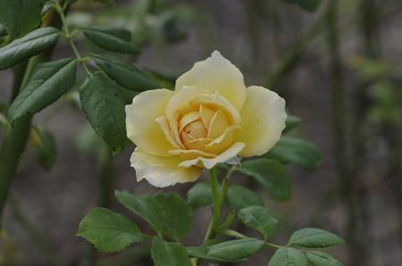 半田山植物園のバラ ゴールデン・セレブレーション