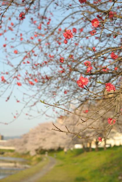 春の陽気 (1) 2011年 4月 赤い桜?