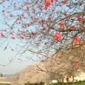 Photos: 春の陽気 (1) 2011年 4月 赤い桜?
