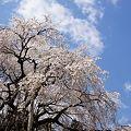 奥山田枝垂れ桜1