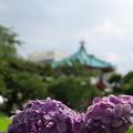 Photos: アジサイ咲く